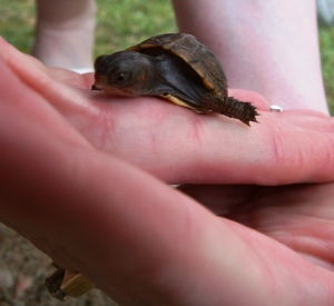 S. Macera Mertyl Turtle